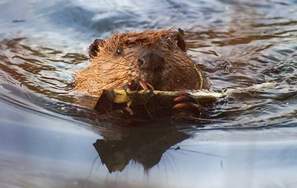 A beaver towing a branch