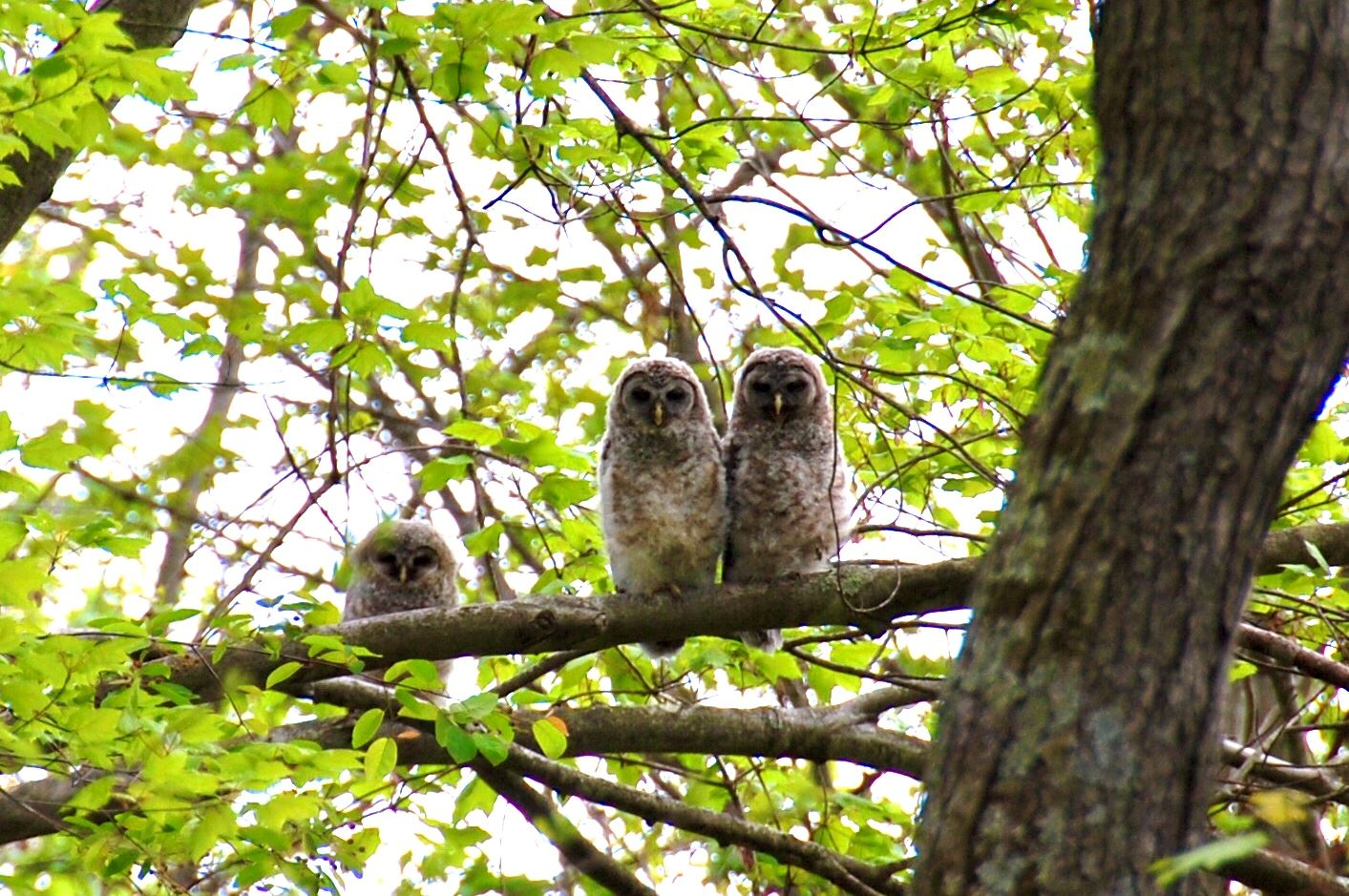 Three Owls by Lisa Dell